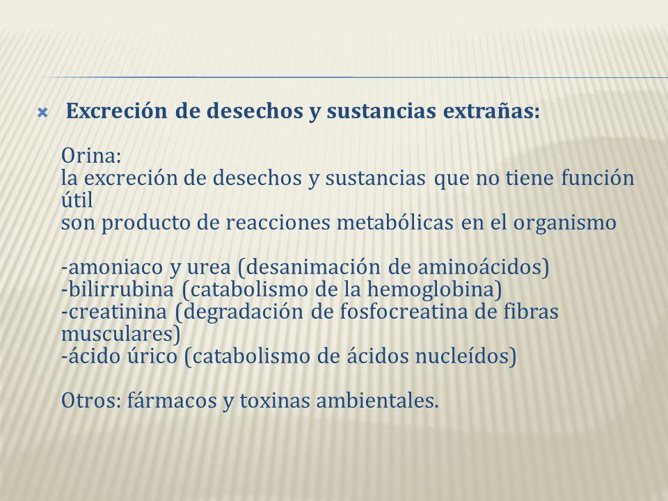 Excreción de desechos y sustancias extrañas: Orina: la excreción de desechos y sustancias que no tiene función útil son producto de reacciones metabólicas en el organismo -amoniaco y urea (desanimación de aminoácidos) -bilirrubina (catabolismo de la hemoglobina) -creatinina (degradación de fosfocreatina de fibras musculares) -ácido úrico (catabolismo de ácidos nucleídos) Otros: fármacos y toxinas ambientales.