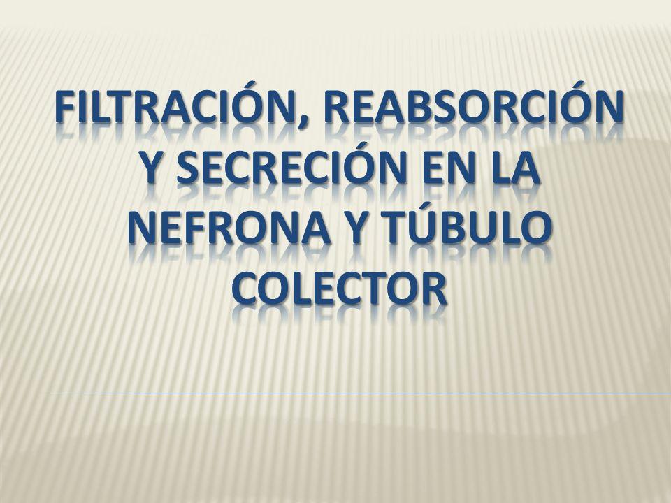 Filtración, reabsorción y secreción en la nefrona y túbulo colector