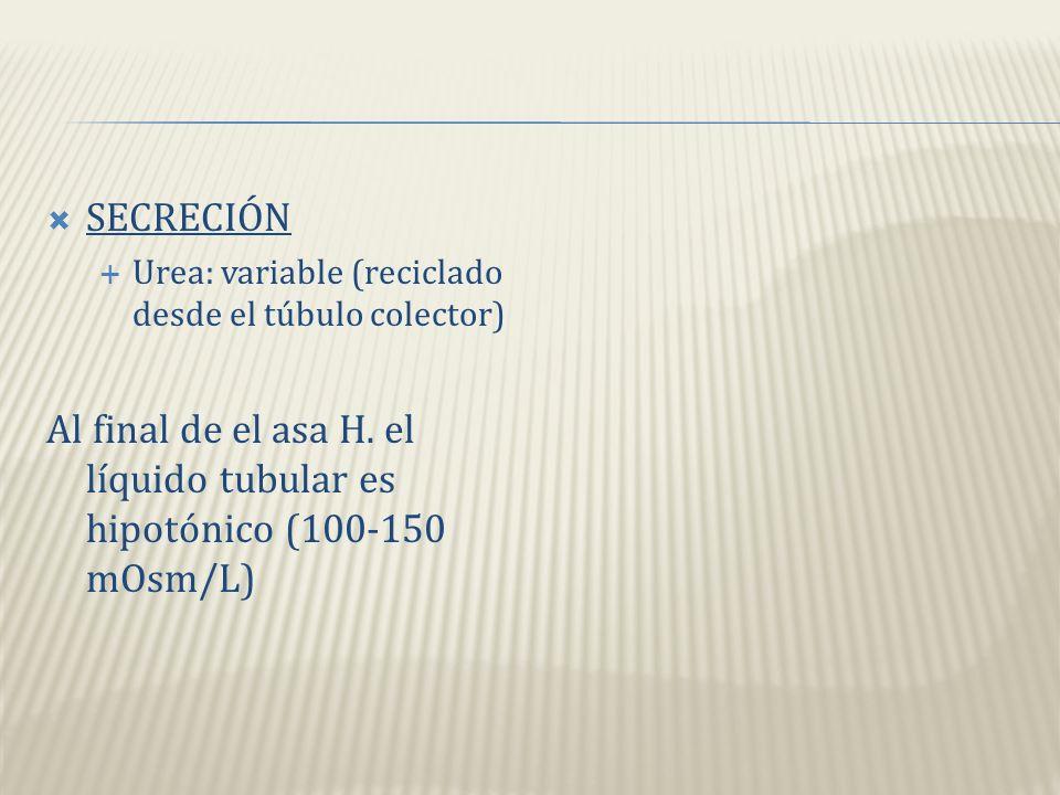 SECRECIÓN Urea: variable (reciclado desde el túbulo colector) Al final de el asa H.
