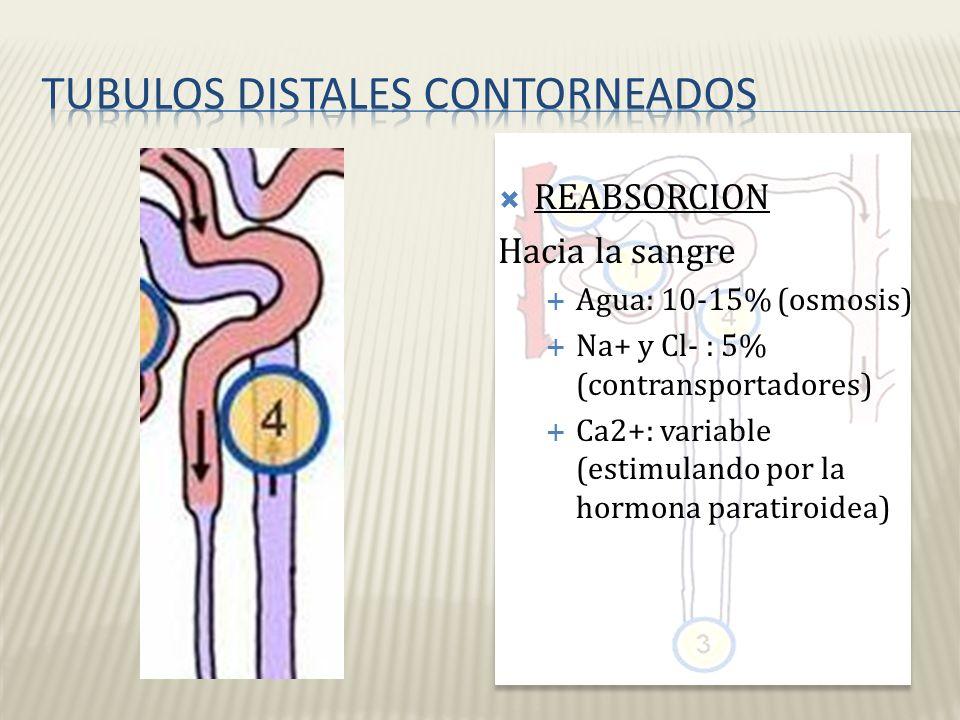 Tubulos distales contorneados