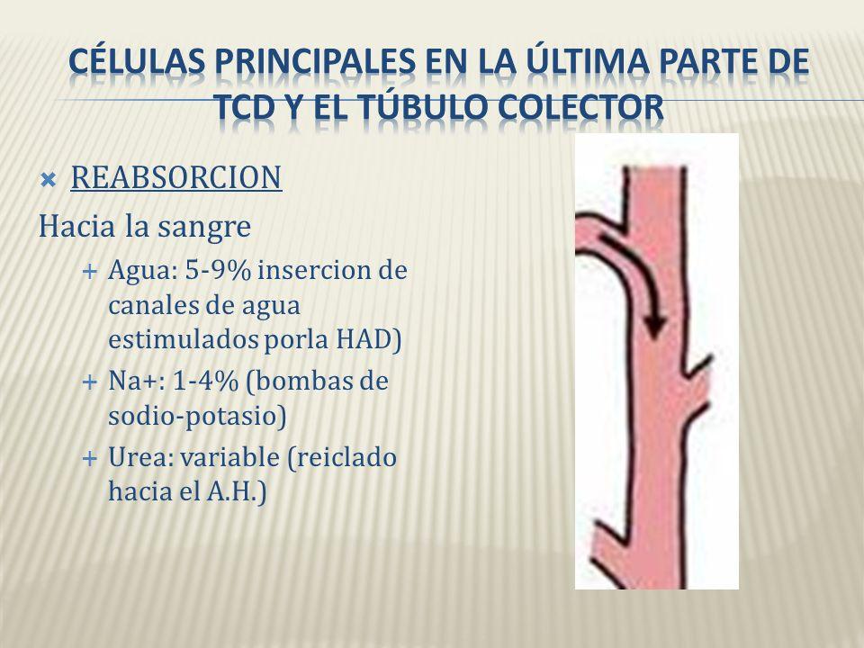 Células principales en la última parte de tcd y el túbulo colector