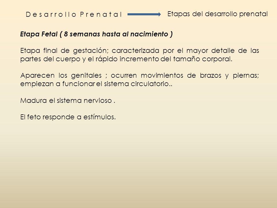 D e s a r r o l l o P r e n a t a l Etapas del desarrollo prenatal. Etapa Fetal ( 8 semanas hasta al nacimiento )