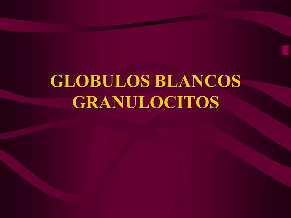 GLOBULOS BLANCOS GRANULOCITOS