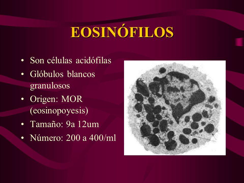EOSINÓFILOS Son células acidófilas Glóbulos blancos granulosos