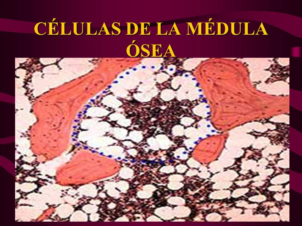 CÉLULAS DE LA MÉDULA ÓSEA