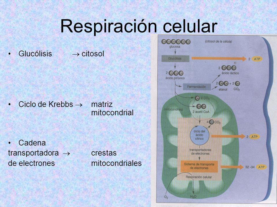 Respiración celular Glucólisis  citosol