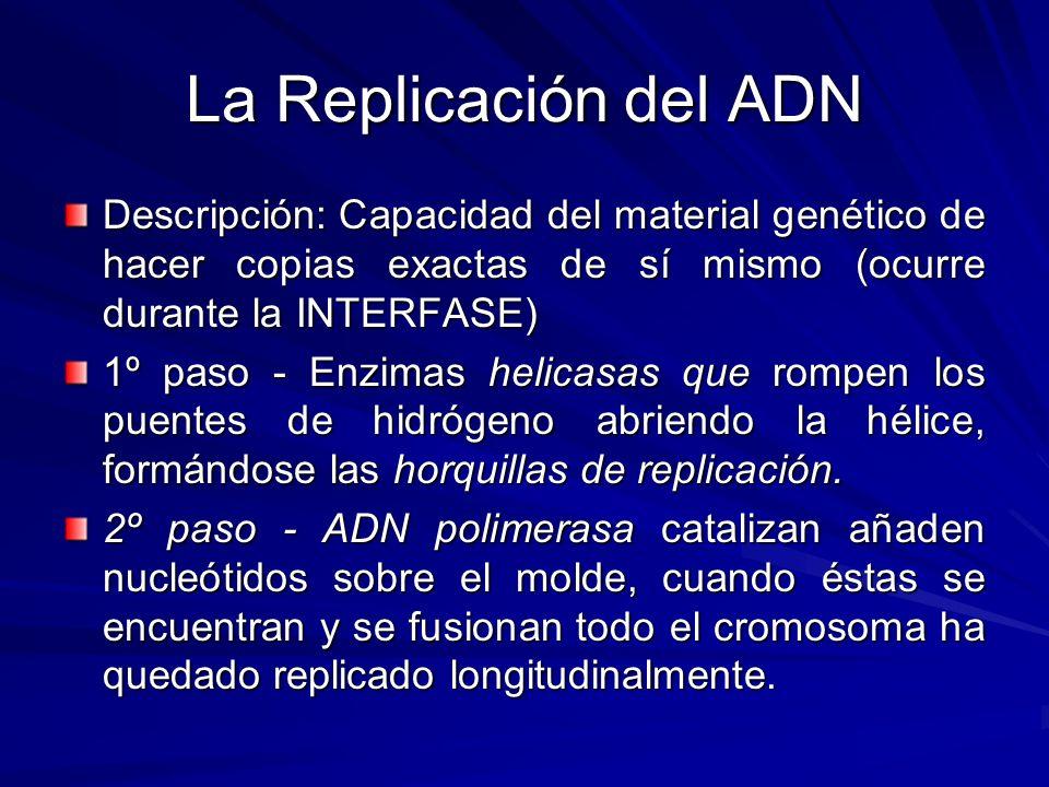 La Replicación del ADN Descripción: Capacidad del material genético de hacer copias exactas de sí mismo (ocurre durante la INTERFASE)