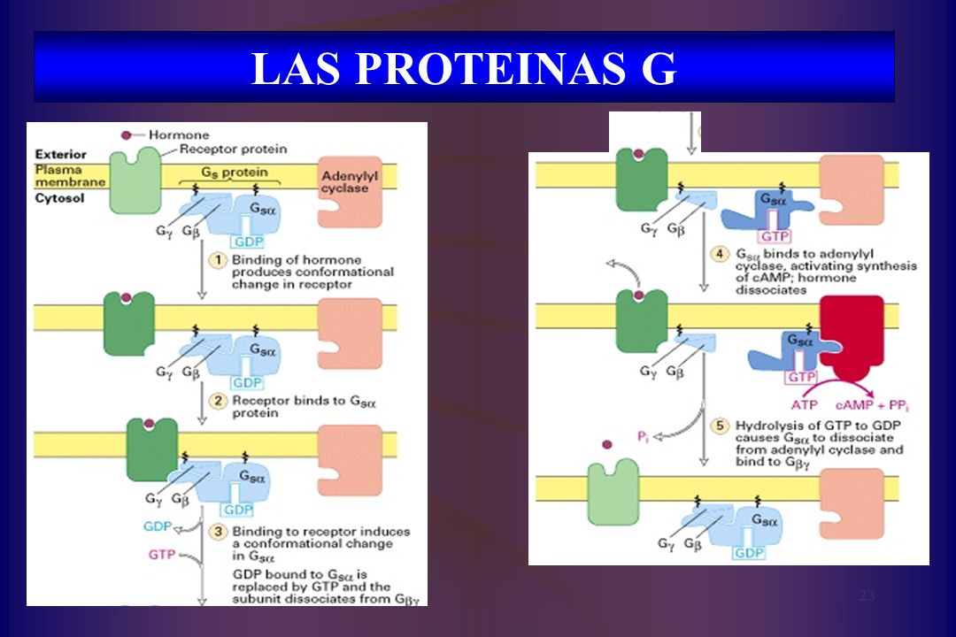 LAS PROTEINAS G