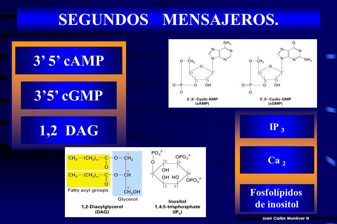 SEGUNDOS MENSAJEROS. 3' 5' cAMP 3'5' cGMP 1,2 DAG IP 3 Ca 2