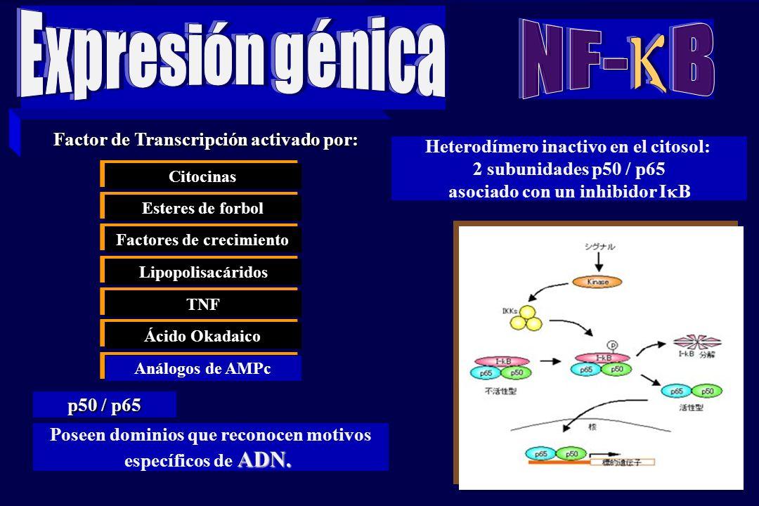 k NF- B Expresión génica Factor de Transcripción activado por: