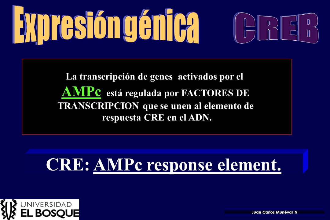 CRE: AMPc response element.