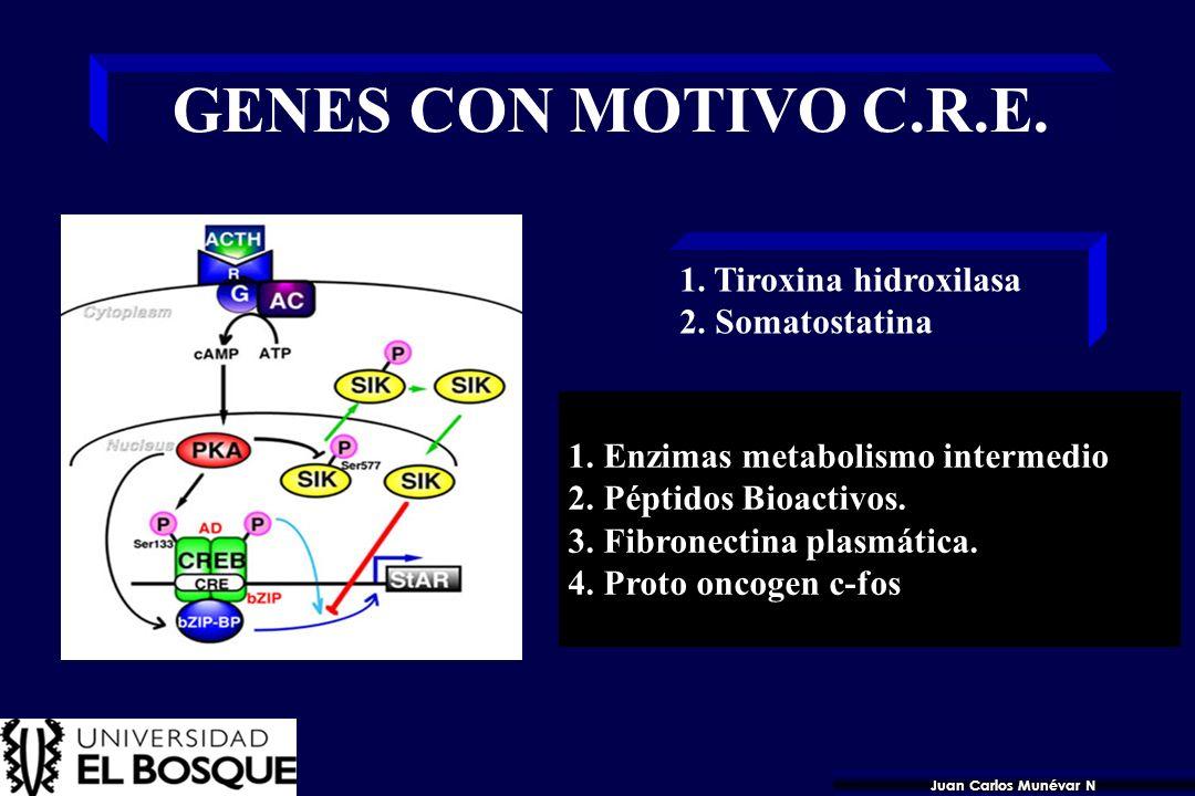 GENES CON MOTIVO C.R.E. 1. Tiroxina hidroxilasa 2. Somatostatina