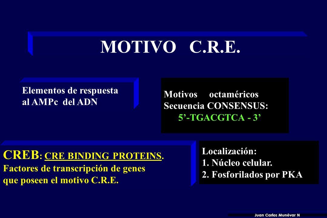 MOTIVO C.R.E. CREB: CRE BINDING PROTEINS. Elementos de respuesta