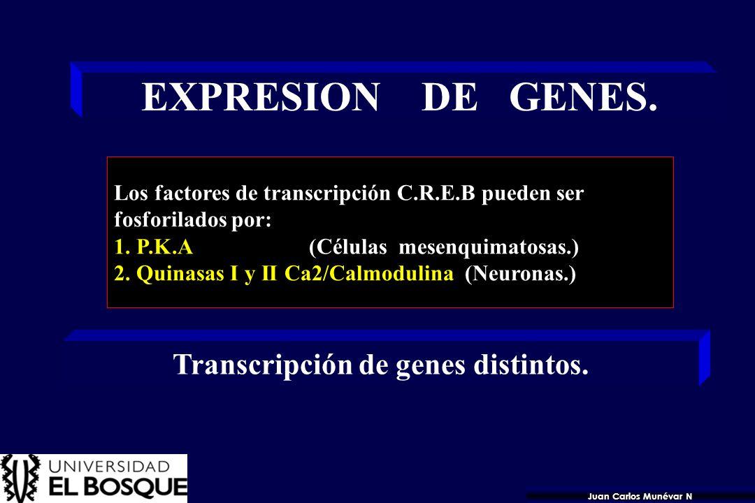 Transcripción de genes distintos.