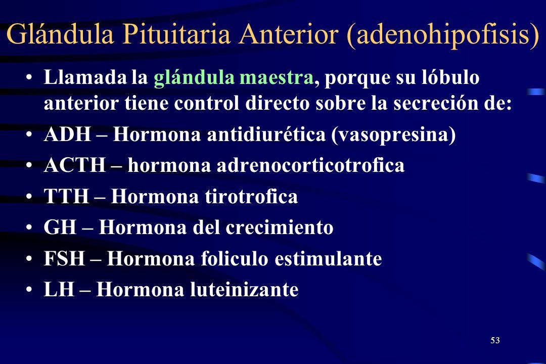 Glándula Pituitaria Anterior (adenohipofisis)