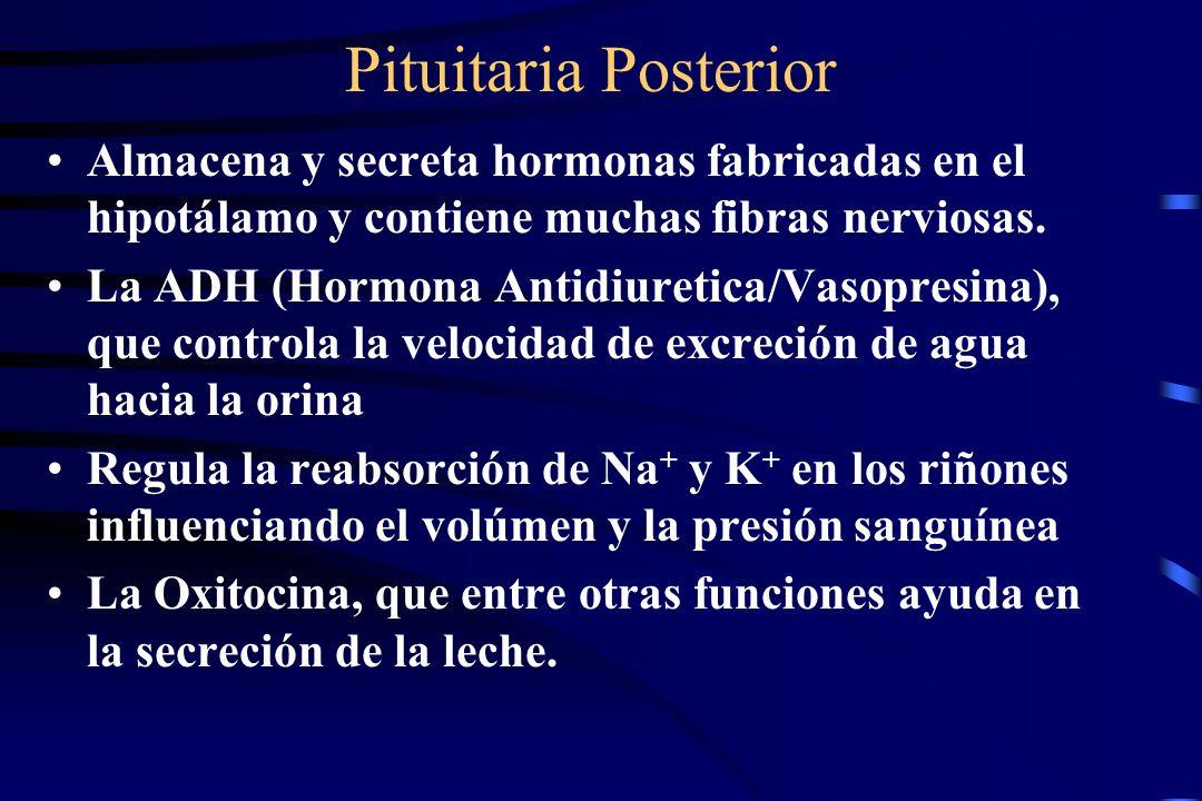 Pituitaria Posterior Almacena y secreta hormonas fabricadas en el hipotálamo y contiene muchas fibras nerviosas.