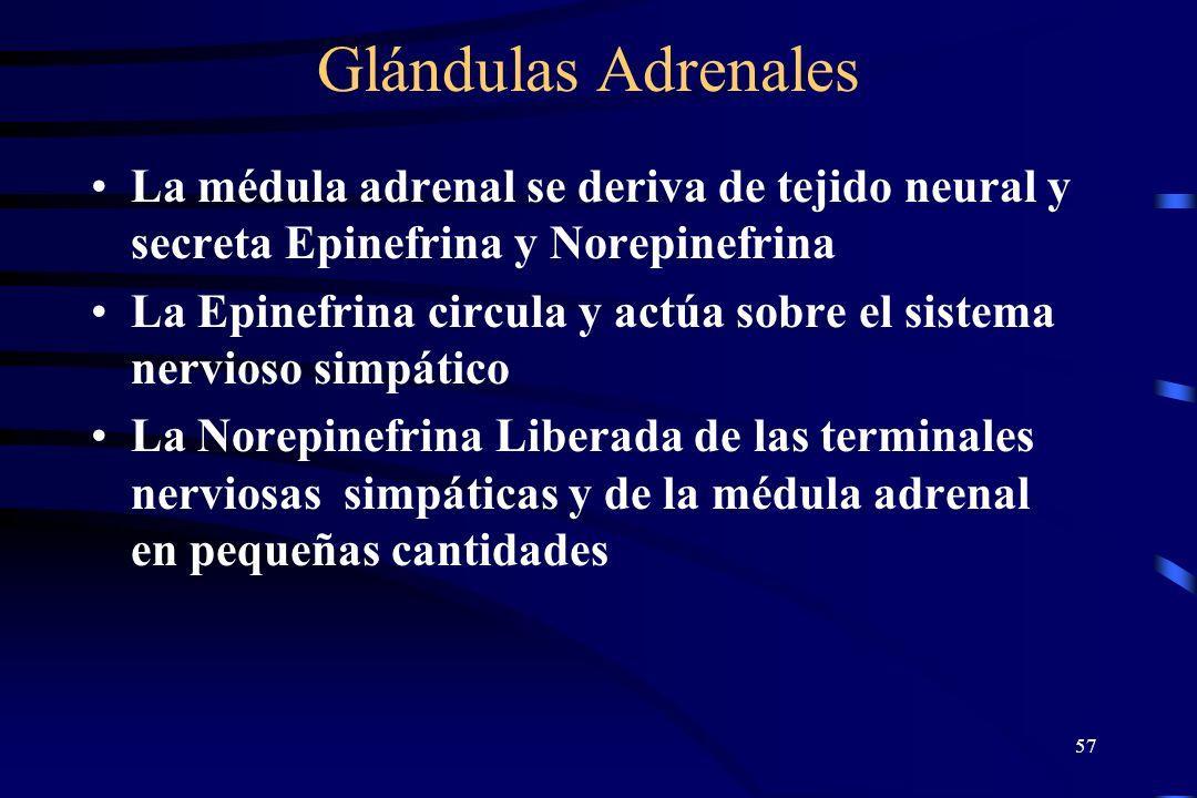 Glándulas Adrenales La médula adrenal se deriva de tejido neural y secreta Epinefrina y Norepinefrina.
