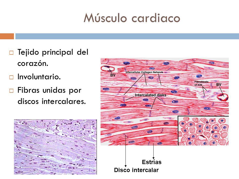 Músculo cardiaco Tejido principal del corazón. Involuntario.