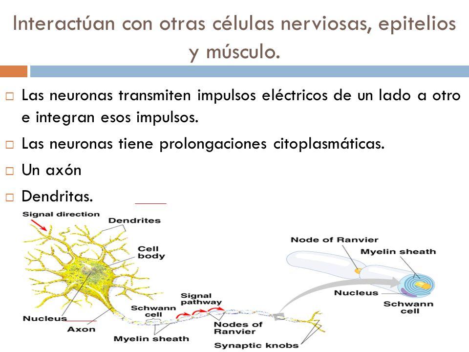 Interactúan con otras células nerviosas, epitelios y músculo.