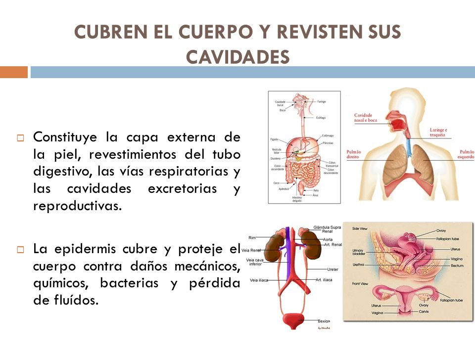 CUBREN EL CUERPO Y REVISTEN SUS CAVIDADES