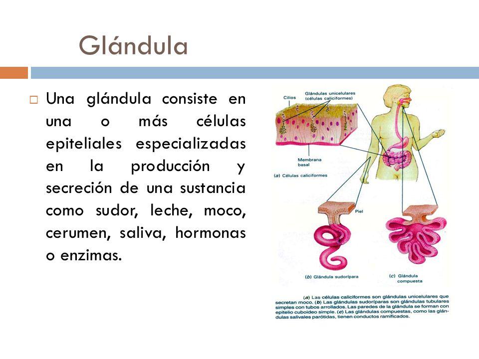 Glándula