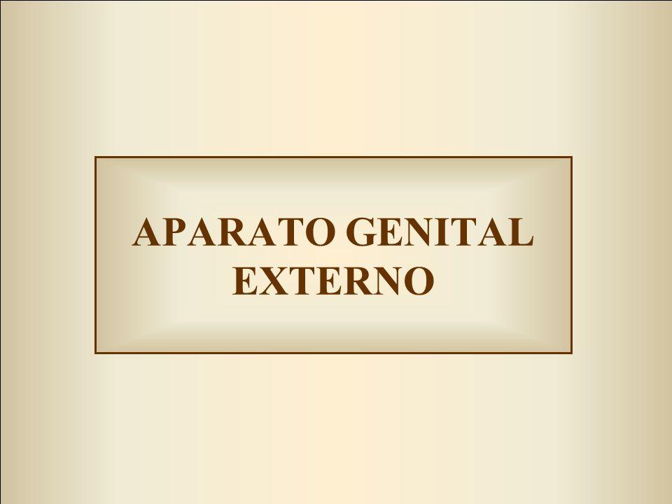APARATO GENITAL EXTERNO
