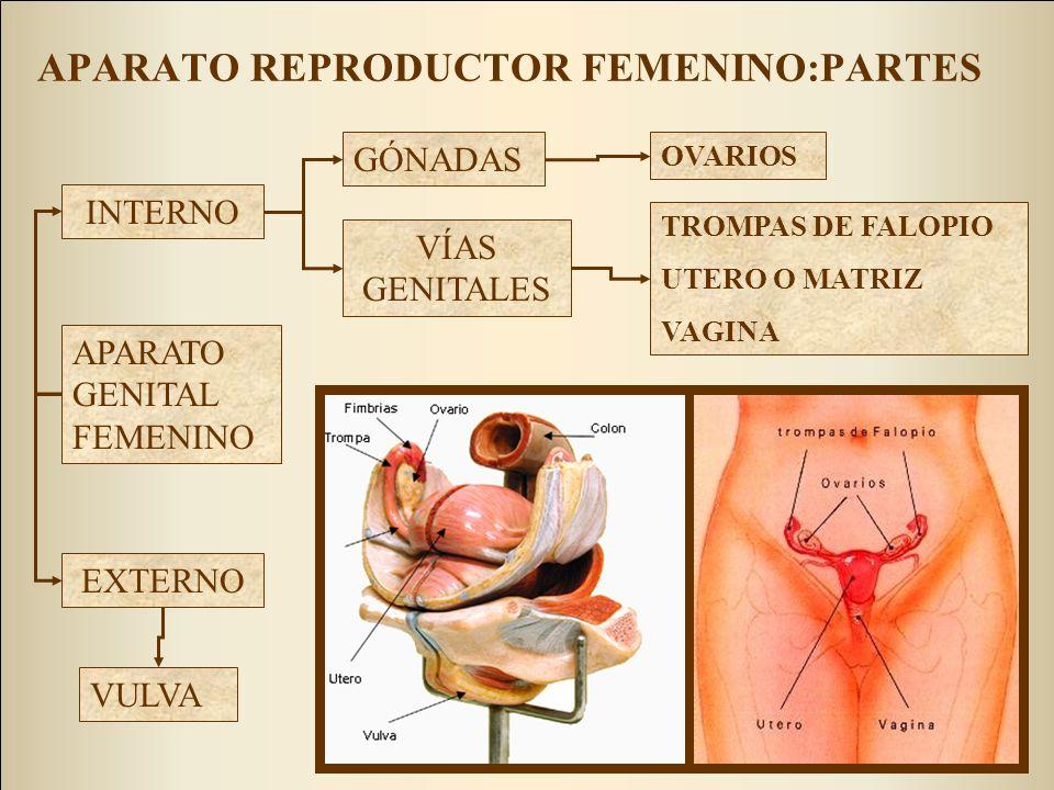 APARATO REPRODUCTOR FEMENINO:PARTES