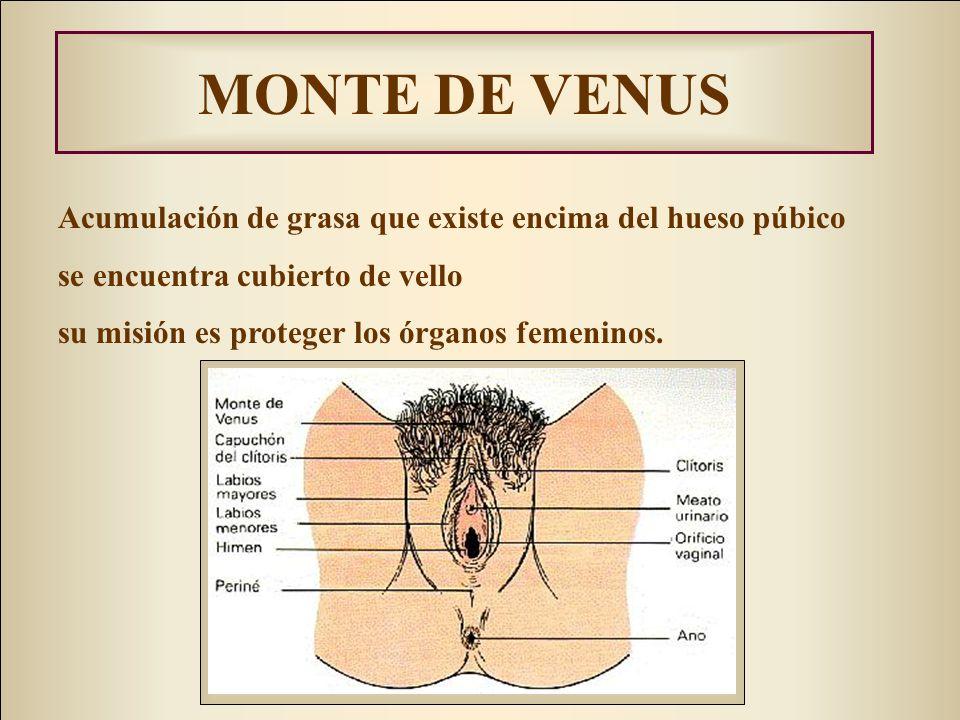 MONTE DE VENUS Acumulación de grasa que existe encima del hueso púbico