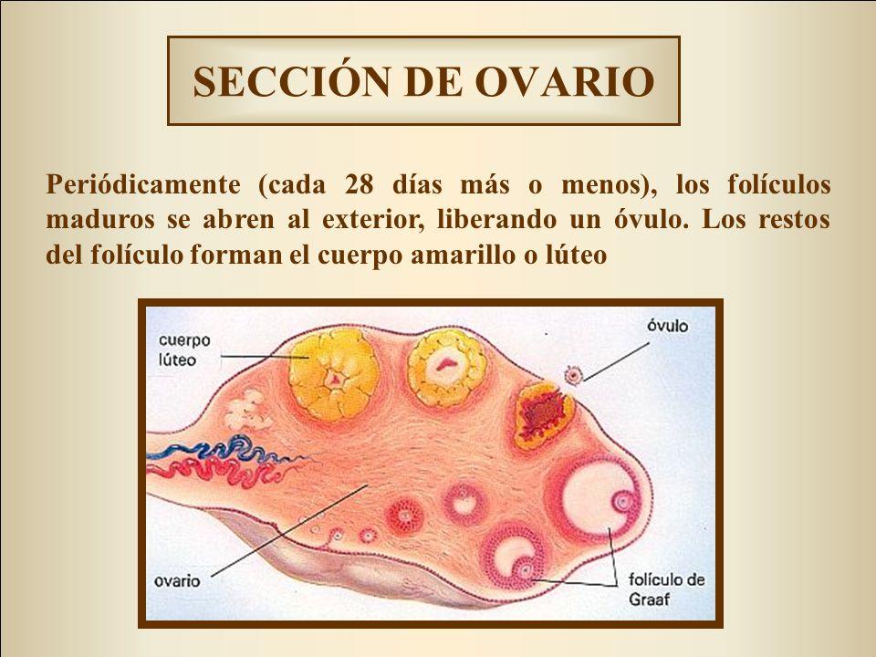 SECCIÓN DE OVARIO
