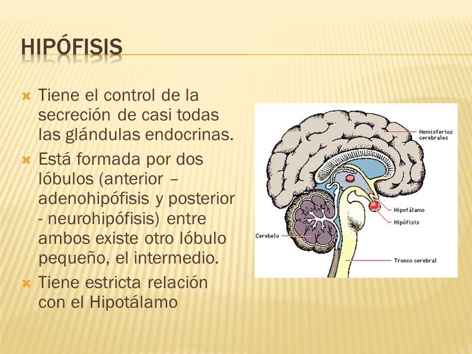 Hipófisis Tiene el control de la secreción de casi todas las glándulas endocrinas.