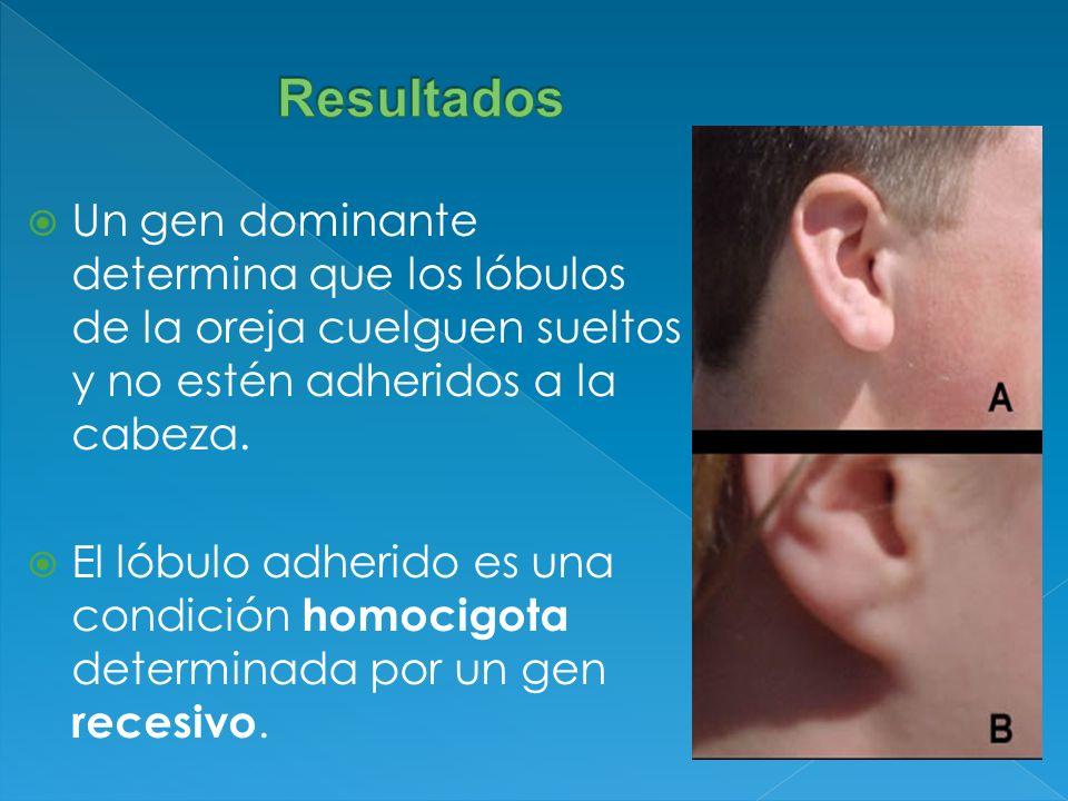 Resultados Un gen dominante determina que los lóbulos de la oreja cuelguen sueltos y no estén adheridos a la cabeza.