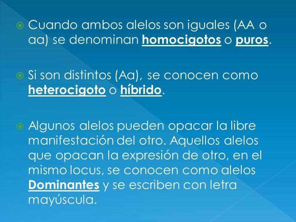 Cuando ambos alelos son iguales (AA o aa) se denominan homocigotos o puros.