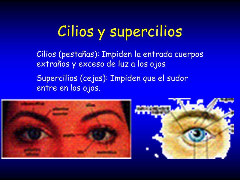 Cilios y supercilios Cilios (pestañas): Impiden la entrada cuerpos extraños y exceso de luz a los ojos.