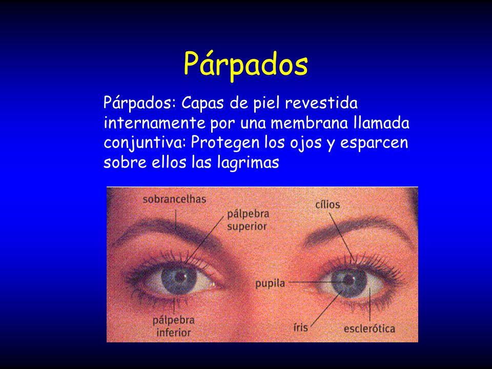 Párpados Párpados: Capas de piel revestida internamente por una membrana llamada conjuntiva: Protegen los ojos y esparcen sobre ellos las lagrimas.
