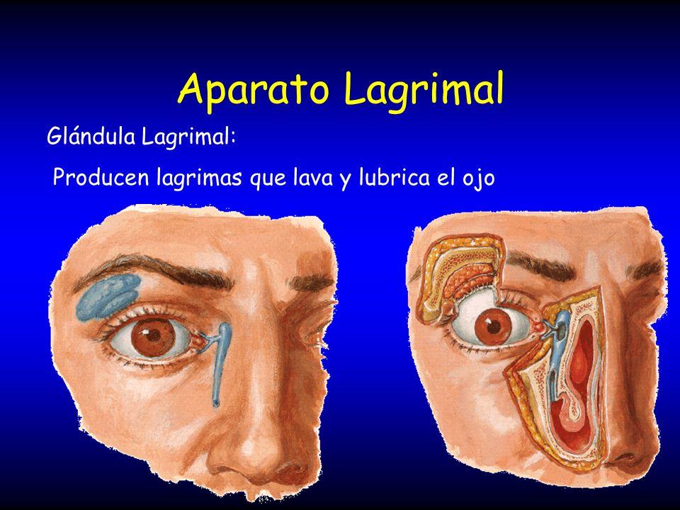Aparato Lagrimal Glándula Lagrimal: