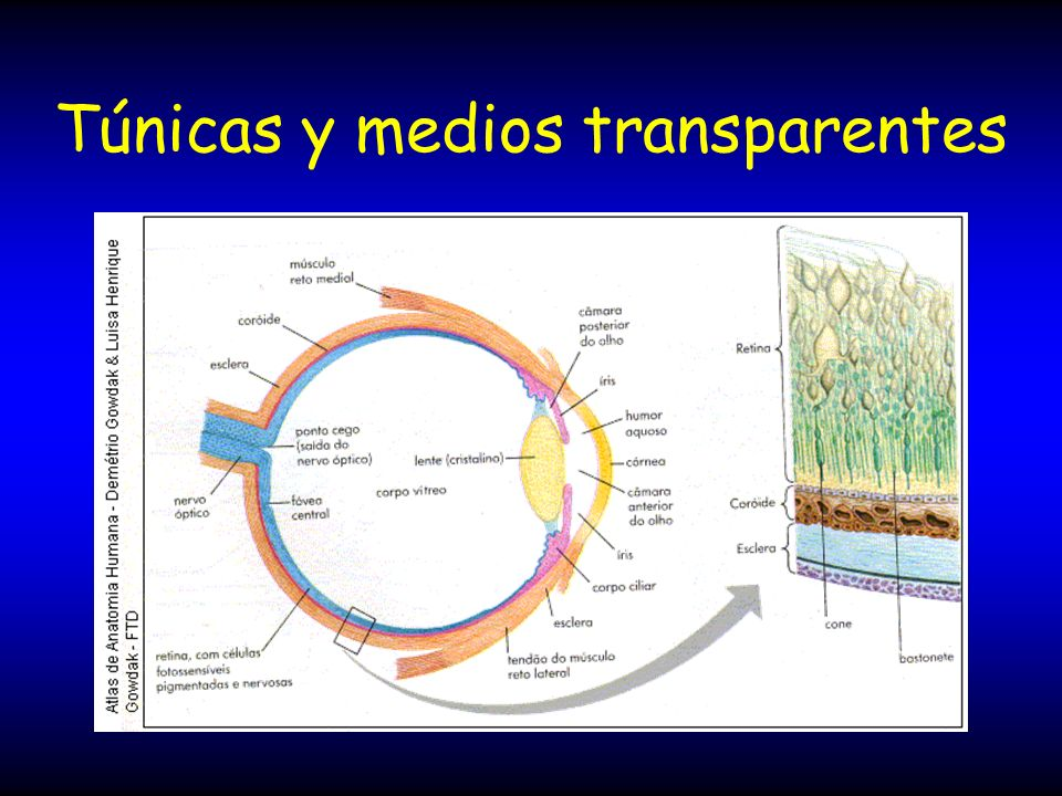 Túnicas y medios transparentes