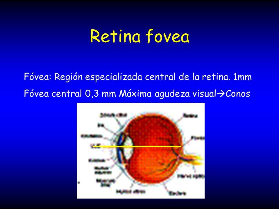 Retina fovea Fóvea: Región especializada central de la retina. 1mm