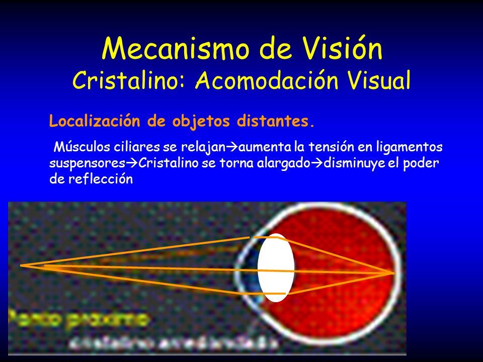 Mecanismo de Visión Cristalino: Acomodación Visual