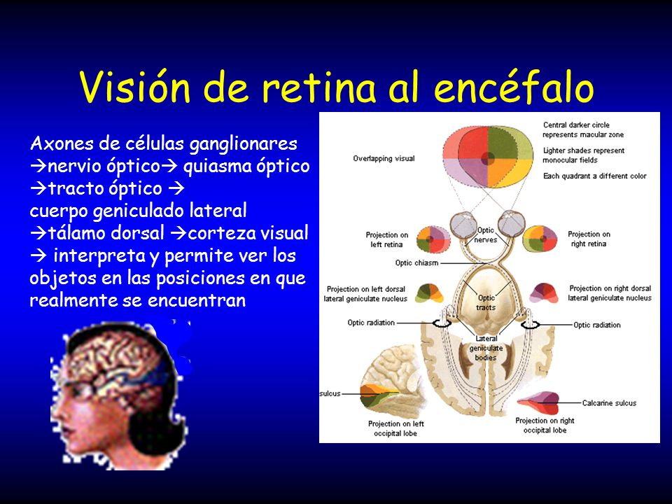 Visión de retina al encéfalo