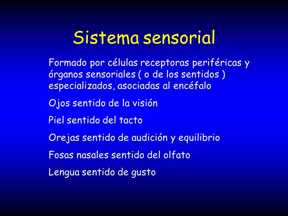 Sistema sensorial Formado por células receptoras periféricas y órganos sensoriales ( o de los sentidos ) especializados, asociadas al encéfalo.