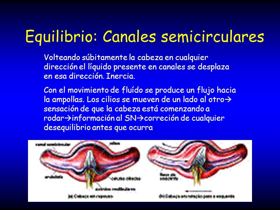 Equilibrio: Canales semicirculares