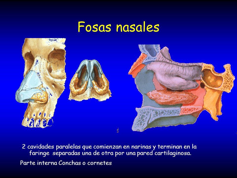 Fosas nasales 2 cavidades paralelas que comienzan en narinas y terminan en la faringe separadas una de otra por una pared cartilaginosa.