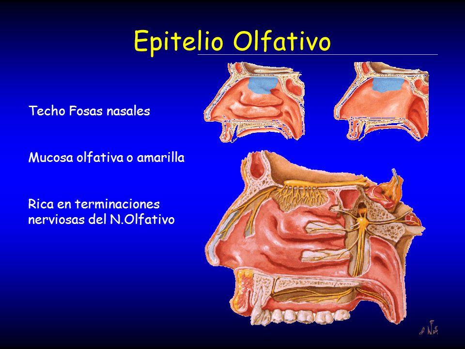 Epitelio Olfativo Techo Fosas nasales Mucosa olfativa o amarilla