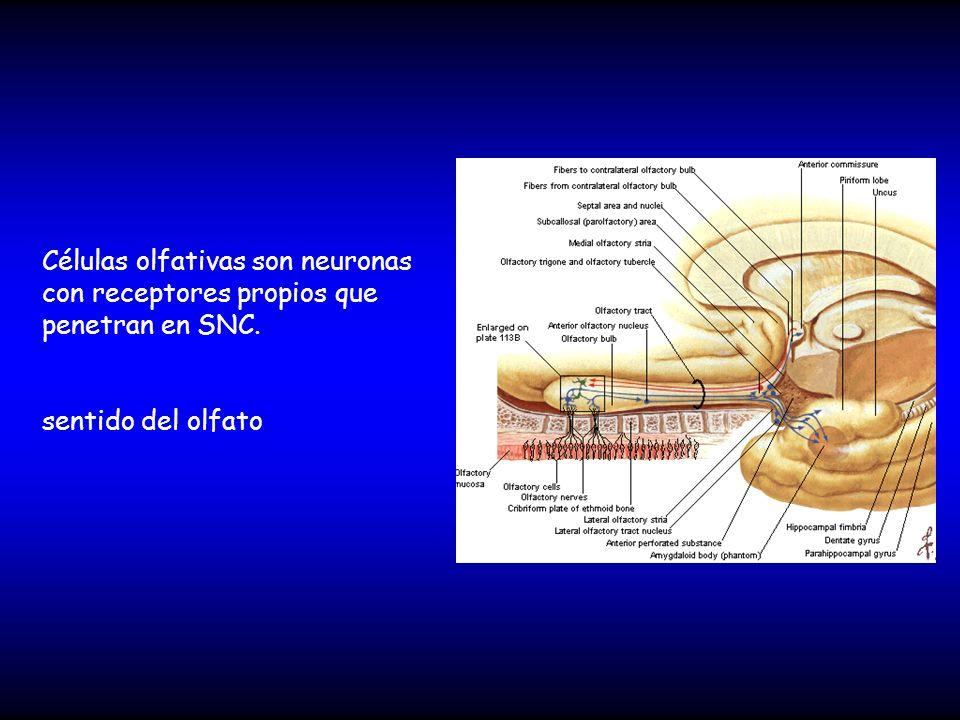 Células olfativas son neuronas con receptores propios que penetran en SNC.