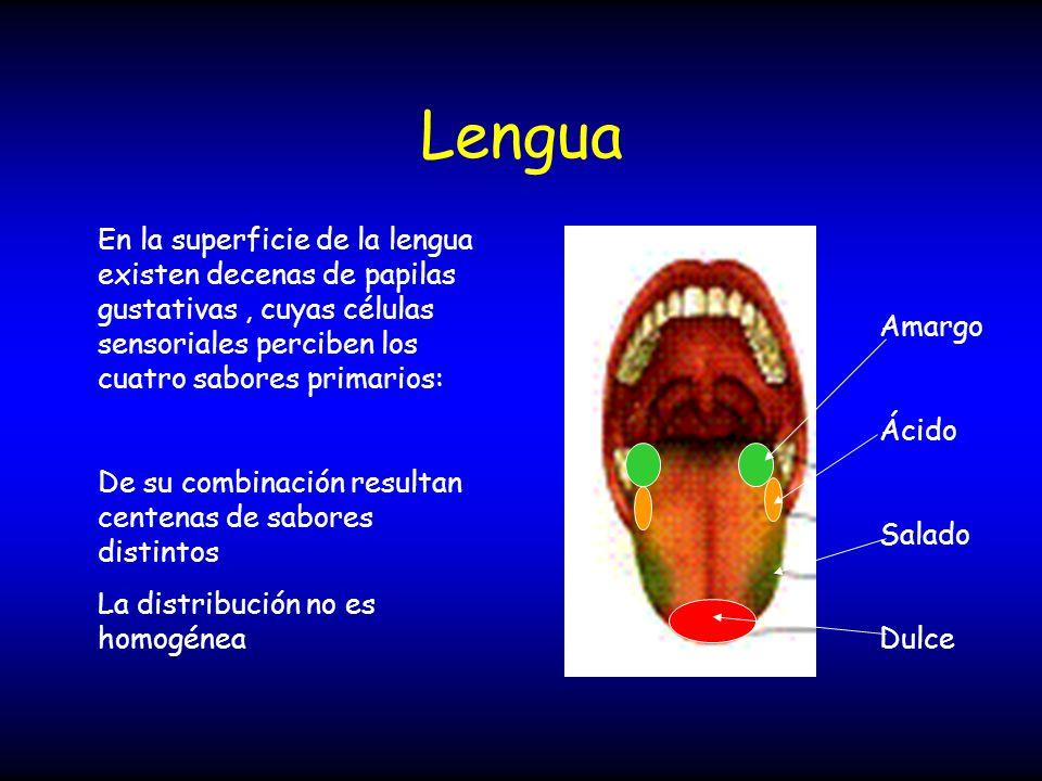 Lengua En la superficie de la lengua existen decenas de papilas gustativas , cuyas células sensoriales perciben los cuatro sabores primarios: