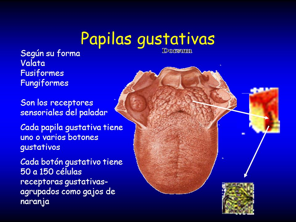 Papilas gustativas Según su forma Valata Fusiformes Fungiformes