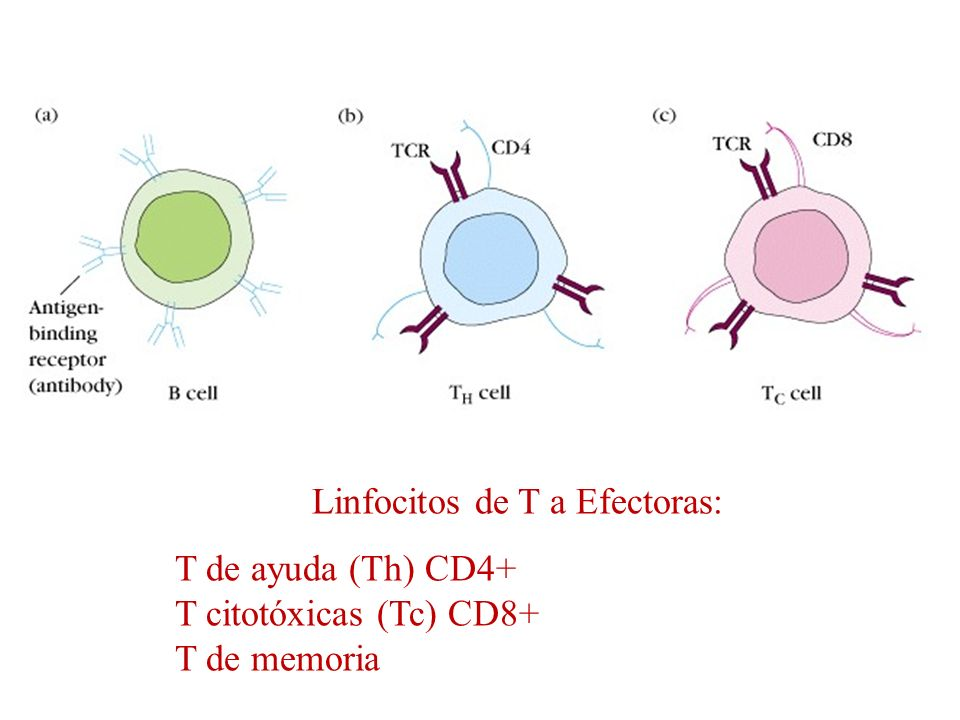 Linfocitos de T a Efectoras: