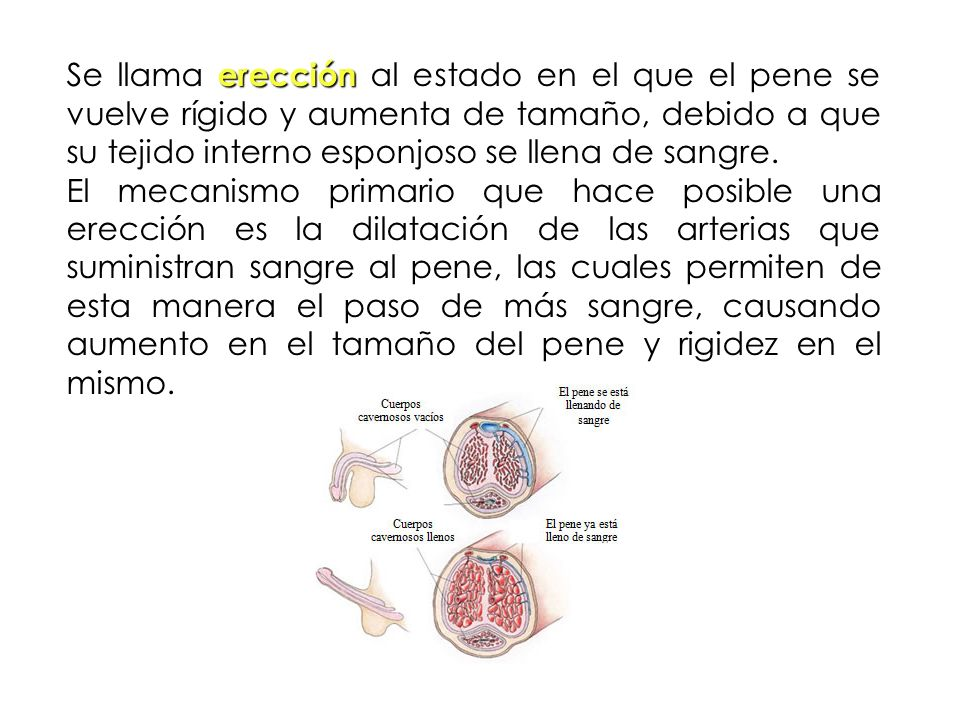 Se llama erección al estado en el que el pene se vuelve rígido y aumenta de tamaño, debido a que su tejido interno esponjoso se llena de sangre.
