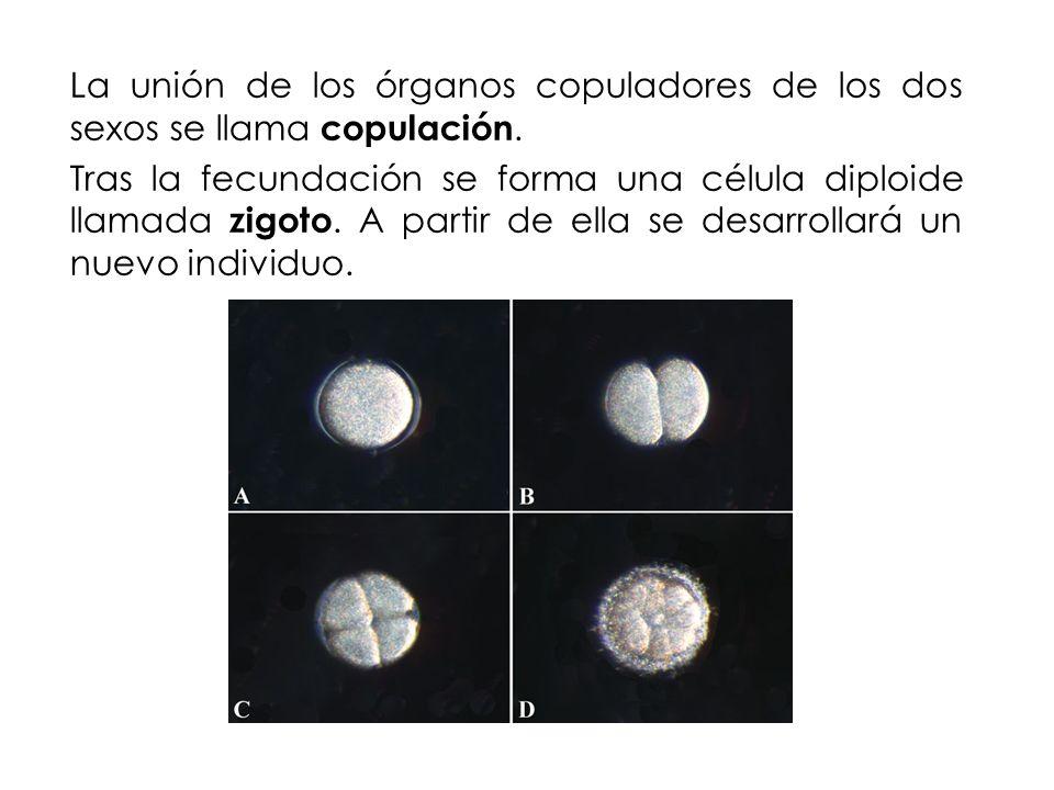 La unión de los órganos copuladores de los dos sexos se llama copulación.