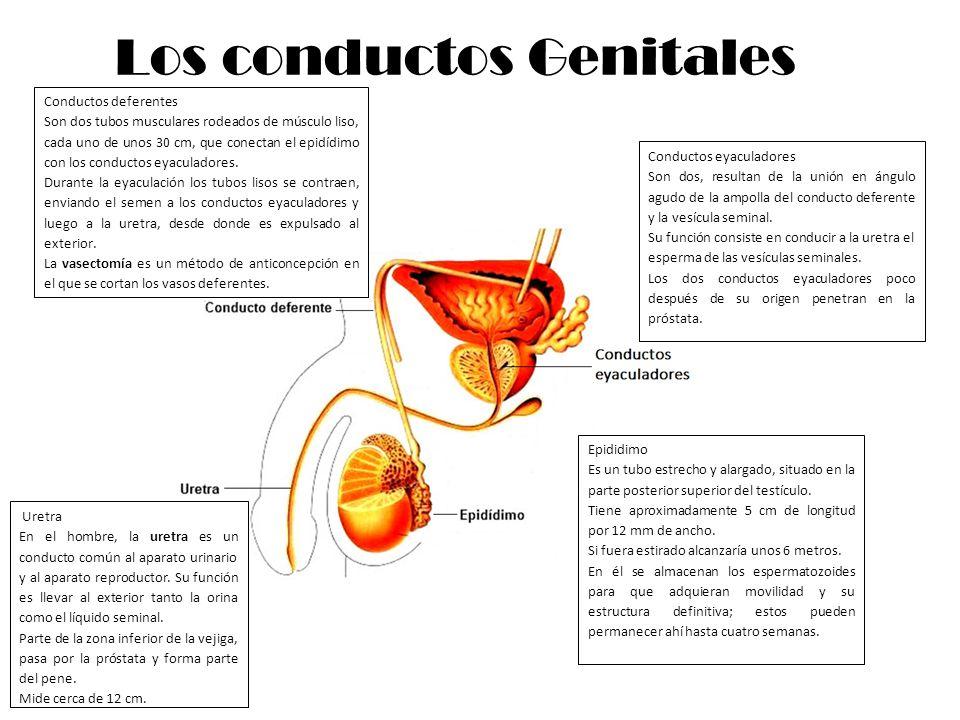 Los conductos Genitales
